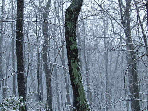 lichenous tree in snowstorm 1