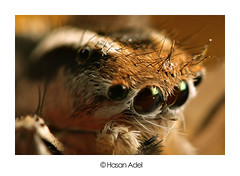 Jumper Spider (Close) (HASAN_ADEL) Tags: macro canon bug insect lens spider micro saudi arabia jumper reversed 450 hassa hoya ahsa hasa ksa magnification khobar alkhobar     450d    alahsa