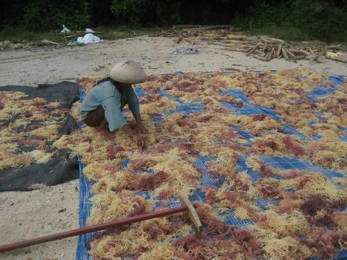 Woman drying carrageenan