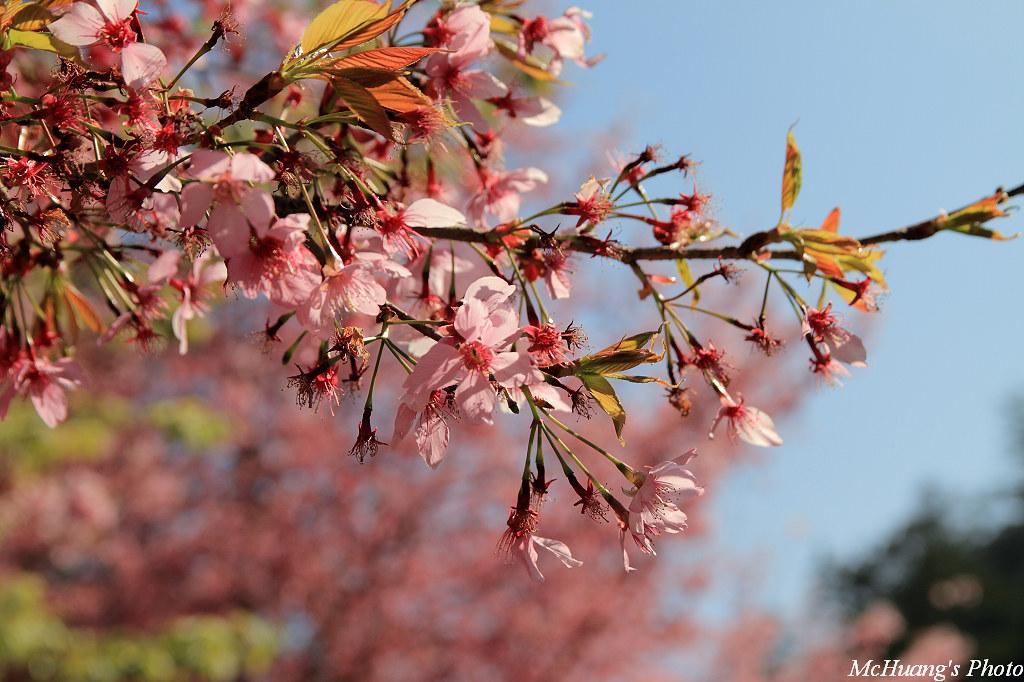 武陵.櫻花