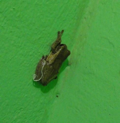 Palo Verde, Rana lechosa, Trachycephalus venulosa