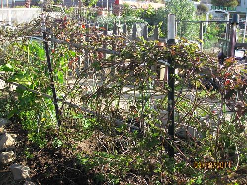 boysenberry fence