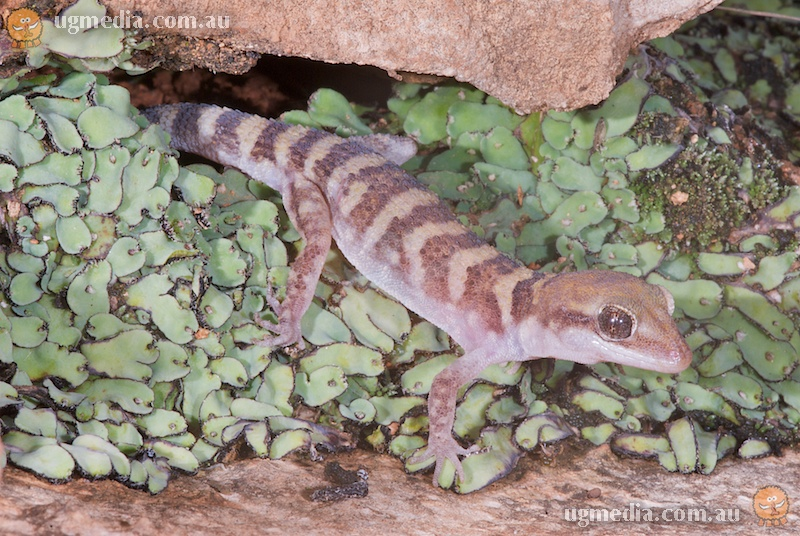 Bynoe's gecko (Heteronotia 'binoei')