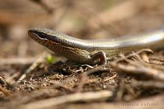 Ablepharus kitaibelii fitzingeri (Nikola Rahme) Tags: hungary handheld skink reptilia canoneos5d canonef100f28usmmacro reptilesofeurope