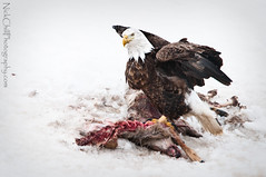 Bald Eagle with Carrion (Nick Chill Photography) Tags: winter snow bird nature animal fauna photography nikon feeding wildlife fineart baldeagle iowa american raptor carrion carcass haliaeetusleucocephalus animalia avian birdofprey whitetaileddeer circleoflife scavenge stockimage d300s sigma150500mm slbfeeding slbmantling nickchill