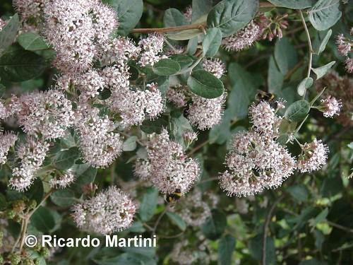 Rama florida de <i>Proustia pyrifolia</i> (Tola blanca), en la cual se aprecian sus flores reunindas en panículas y hojas de forma oblonga con un pecíolo lanoso. Villarrica, Región de la Araucanía.
