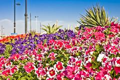 fanateer flowers (maio amor) Tags: flowers kp lightroom jubail kulay nikond40 fanateer garbongbisaya