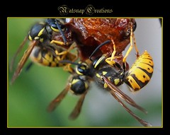 Wasps feasting (~♥~NatSnap~♥~) Tags: nature insects bugs wasps thingsinmygarden europeanwasps cafeelite waspsfeeding
