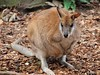 Wallaby (Xtoffa) Tags: animal pen zoo sydney olympus kangaroo wallaby olympuspen current 43 taronga tarongazoo fourthirds tarongapark epl1 microfourthirds doublyniceshot mygearandme xtoffa olympusepl1 ringexcellence