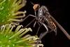 Marsh fly (Porphyrochroa sp.) (pbertner) Tags: cloud macro fly ecuador rainforest insects biology mosca entomology