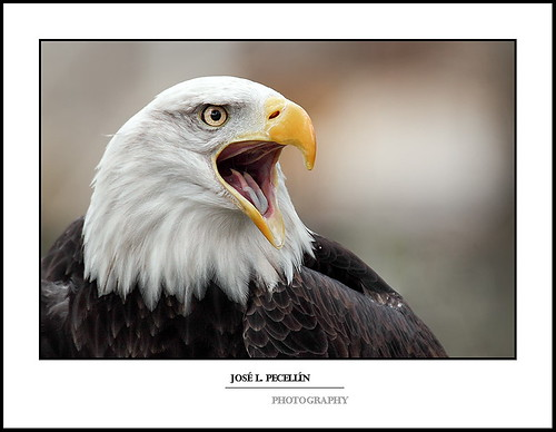 AGUILA CALVA - Bald eagle