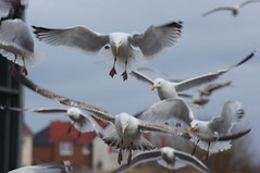 DSC00835 (Pinkrover M6IOI , Check out my albums) Tags: seagulls birds seagull gull gulls fleetwood