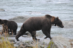 2010 Alaska Grizzly Bear 19 (DrLensCap) Tags: bear lake robert animal alaska mammal state ak area inside recreation grizzly passage kramer chilkoot lutak