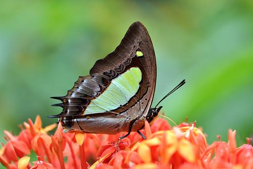 Common Nawab (Polyura athamas athamas)