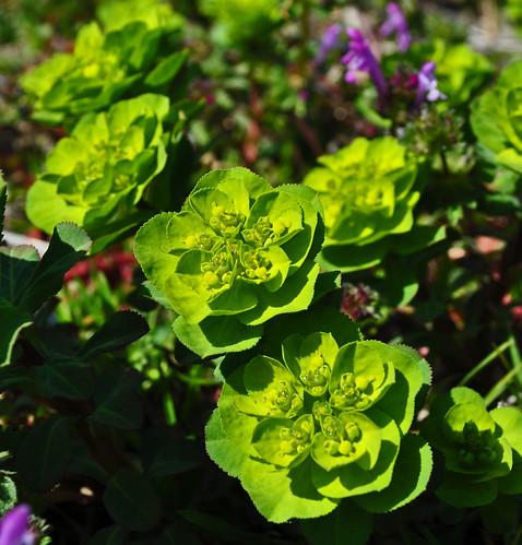 Euphorbia (6)