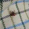 Female adult, black legged, deer tick.