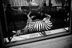 Even the zebra was afraid of the quake (Clark Tanaka) Tags: explore 250 explored ef35mmf14lusm canoneos5dmarkii f32