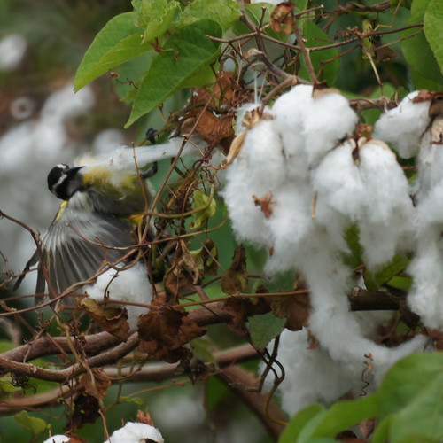 Bananaquit getting cotton for nest