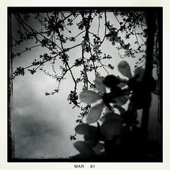 My Dark Mistress is Benevolent (DrCuervo) Tags: seattle trees shadow blackandwhite white black flower rain mobile clouds spring shadows cloudy cherryblossom aged mistress iphone iphonephotography iphoneography