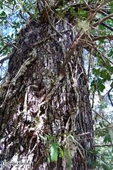 Quintral amarillo, Desmaria mutabilis, parasitando un Coihue, Nothofagus dombeyi (Chilebosque) Tags: amarillo mutabilis loranthaceae quintral parásitas desmariamutabilis desmaria