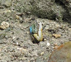 Uca sp. (Fiddler Crab, Winkerkrabbe), Romblon, Philippines (The Three P H.& Dive Resort (Ducks Diving) Romblon) Tags: philippines crab uca fiddler philippinen cangrejos romblon brachyura winkerkrabbe violinistas ocypodidae wenkkrabben crabesviolonistes