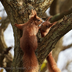 Seeing double (Red Squirrel love is in the air) (s0ulsurfing) Tags: pictures wood red wild two england tree cute english love nature animal ca