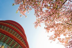 [陽光噴射] (funkyruru) Tags: life sky cherry blossom 28mm cherryblossom ricoh 淡水 a12 天空 櫻花 天元宮 postprocessing gxr 生活隨拍