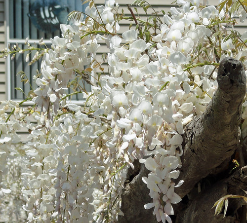 wisteria2011