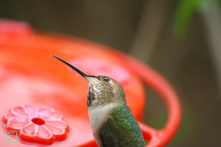 Allen's Hummingbird 032611-2