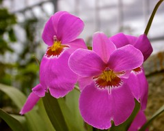 Orchid (please ID!) by tm-tm, on Flickr