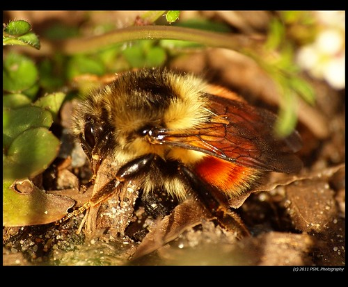 Tricolored Bumble Bee (Bombus ternarius)