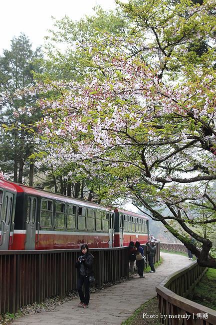 阿里山櫻花季陰天版15