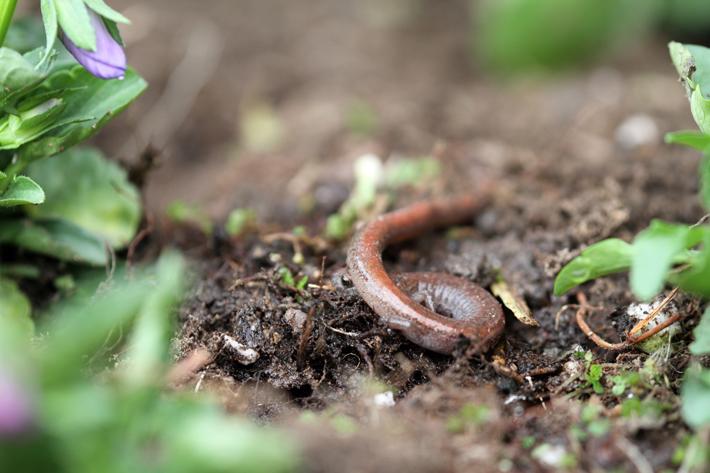 040311_salamander01