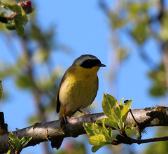 Common Yellowthroat (artlessfun) Tags: bird willamettevalley commonyellowthroat geothlypistrichas oregonwildlife finleynwr artlessfun canoneosrebelt3i