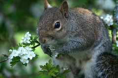 Springtime squirrel (rosyrosie2009) Tags: uk england nature animals closeup photography rodent countryside squirrel flickr cornwall wildlife tamron hawthorn looe westcountry thornapple rosaceae sciuridae sciuruscarolinensis crataegus d5000 tamronaf70300mmf456dildmacro tamron70300mmlens nikond5000 rosiespooner rosyrosie2009 rosemaryspooner rosiespoonerphotography