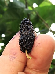 morera (mulberry) (DOLCEVITALUX) Tags: mulberry mulberrytree tree fruit flora fauna philippines canonpowershotsx50hs
