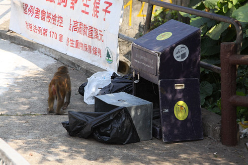 Monkeys digging through a roadside rubbish bin