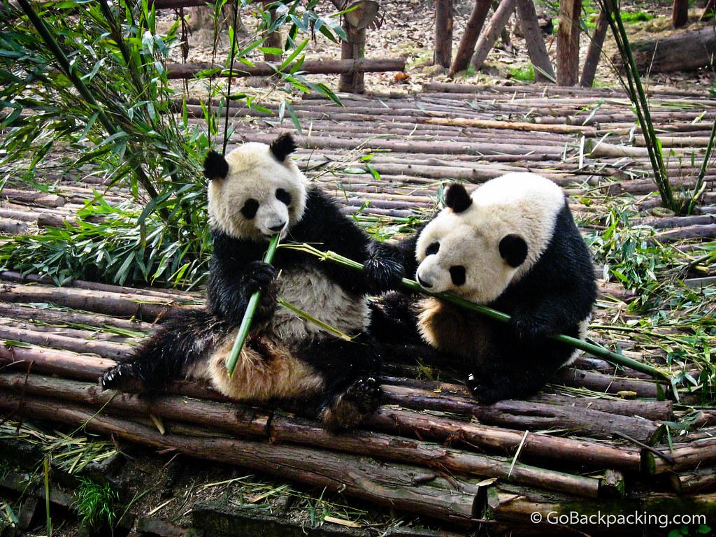 A pair of panda bears