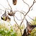 Fruit Bats In The Botanical Garden