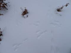 orme di lepre sulla neve