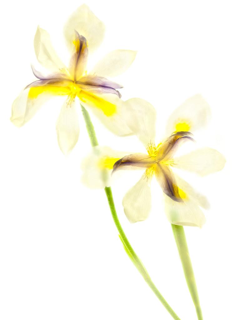 White Iris © Harold Davis