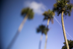 Palm Trees (ethics_gradient) Tags: sky tampa contrail florida bokeh sony palm palmtree tropical 20mm nikkor usf f28 ts tiltshift universityofsouthflorida nex3 sonynex3