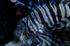 ハナミノカサゴ, 沖縄美ら海水族館