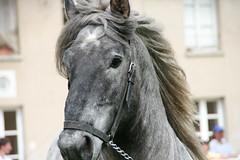 "Les ""Traits - Actifs"" (Gypsy Cob) Tags: horses horse cheval each equine rambouillet chevaux drafthorse ceffylau trait eich poitevin heavyhorse capall trekpaard chevaldetrait equinephotography zugpferd capaill kezeg equinephotographer traitpoitevinmulassier traitsactifs"