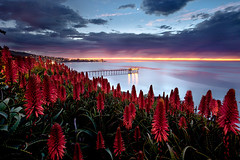 ring of fire (max vuong) Tags: ocean california city flowers sunset red cactus plants moon seascape max flower nature night clouds canon landscape lights pier aloe sandiego blossom surreal lajolla institute bloom 5d vera dreamscape mkii scripps oceanography sio redhotpoker blueribbonwinner colorphotoaward succotrina rubyphotogragher lenspath
