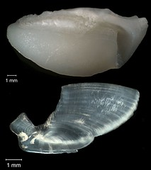 Bonefish Otolith (FWC Research) Tags: fish florida research otolith