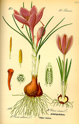 383px-Illustration_Crocus_vernus0 wikipedia