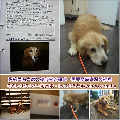 「需要支援」桃園新屋救出預約因為犬瘟又再度被放棄的黃金獵犬福氣弟弟~需要醫療資源與祝福,謝謝您~20110210