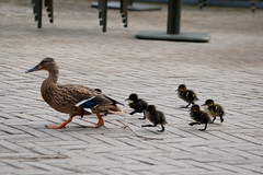 2011-02-09-11h43m18.272P8898 (A.J. Haverkamp) Tags: amsterdam zoo misc thenetherlands mallard eend anasplatyrhynchos artis dierentuin httpwwwartisnl canonef100400mmf4556lisusmlens