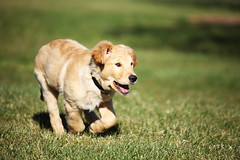 Gru (anthonyhelton.com) Tags: dogs golden retriever mansbestfriend 50mmf14 gru 5dii